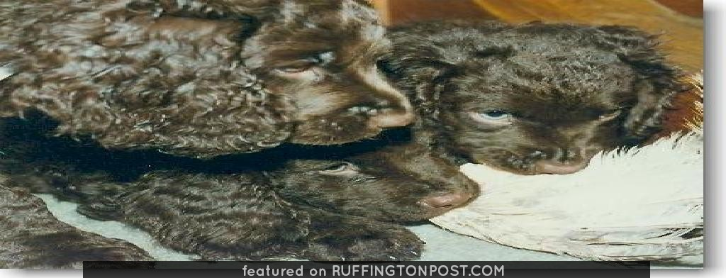 American Water Spaniels: American Water Spaniel Rhea, Eos, and Louie