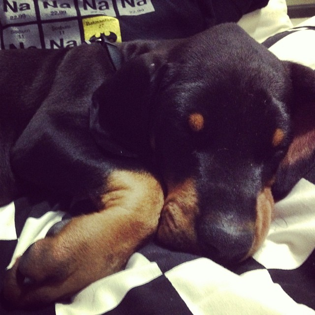 Dreaming Dobie Pup