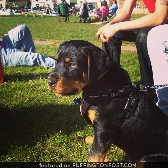 Sunny Rottweiler in Wareham