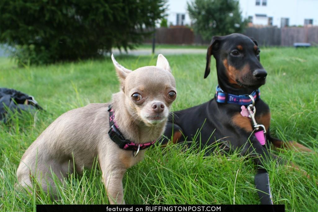 Chihuahua & Doberman Pup