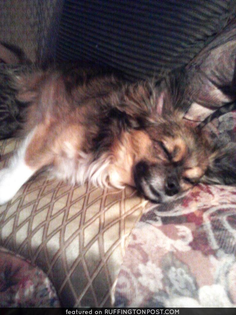 Chihuahua dreams...