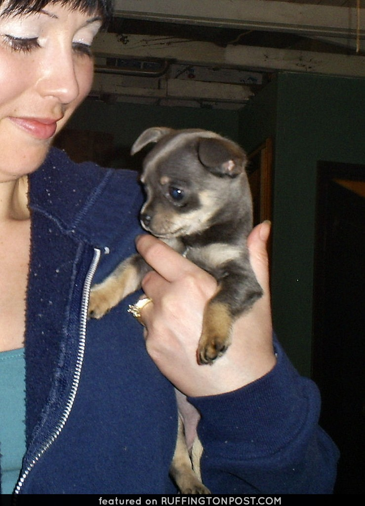 chihuahua puppy S5031077