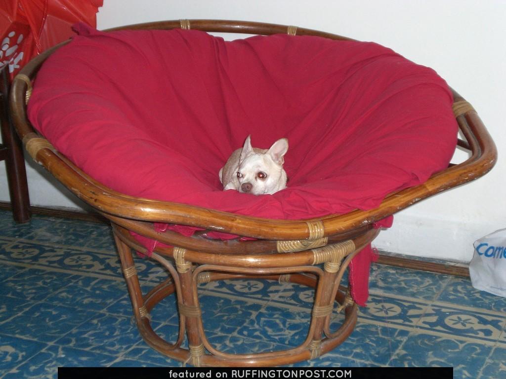 Chihuahua's naptime