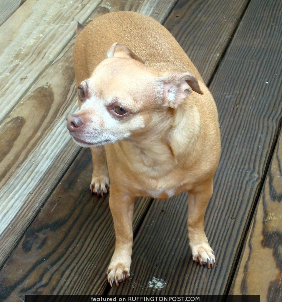 Chubby Chihuahua