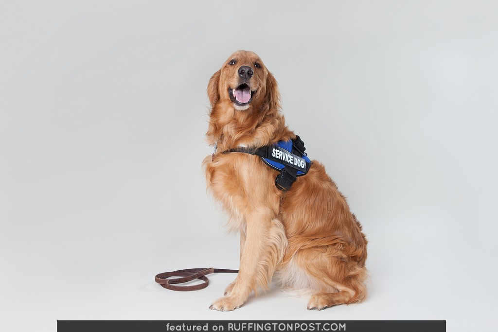 Golden Retriever Service Dog 5