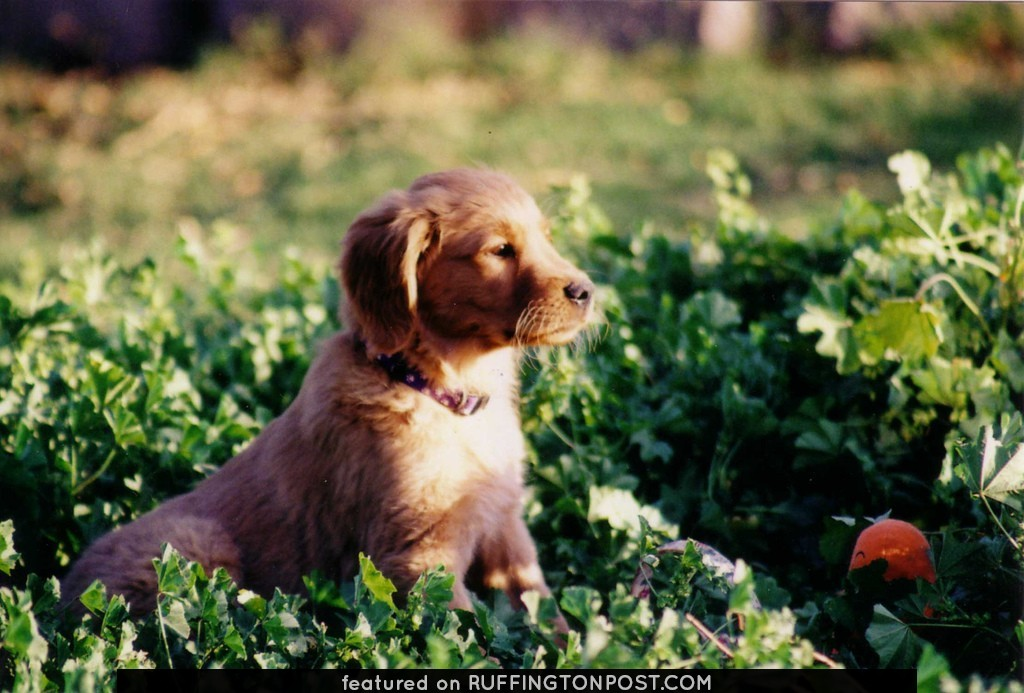 Golden-Retriever-Profile