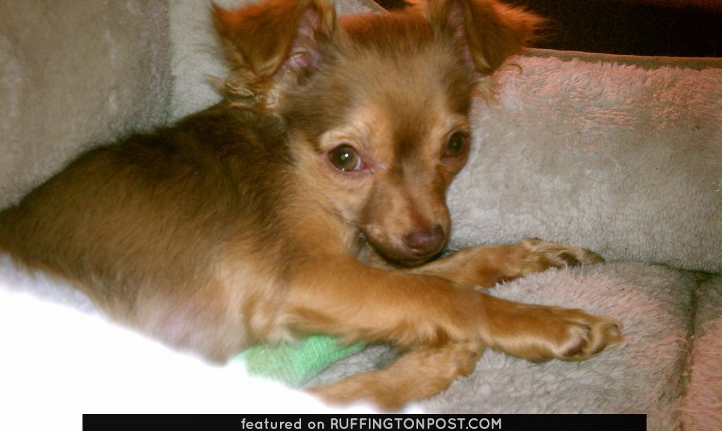 Image: Esteban the  Paraplegic Chihuahua Needs a Home!