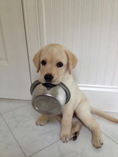 lab pup