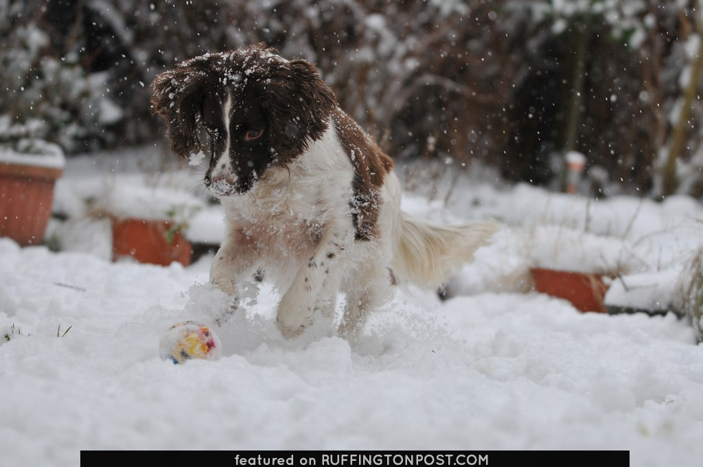 Milly our Springer Spaniel enjoying the snow
