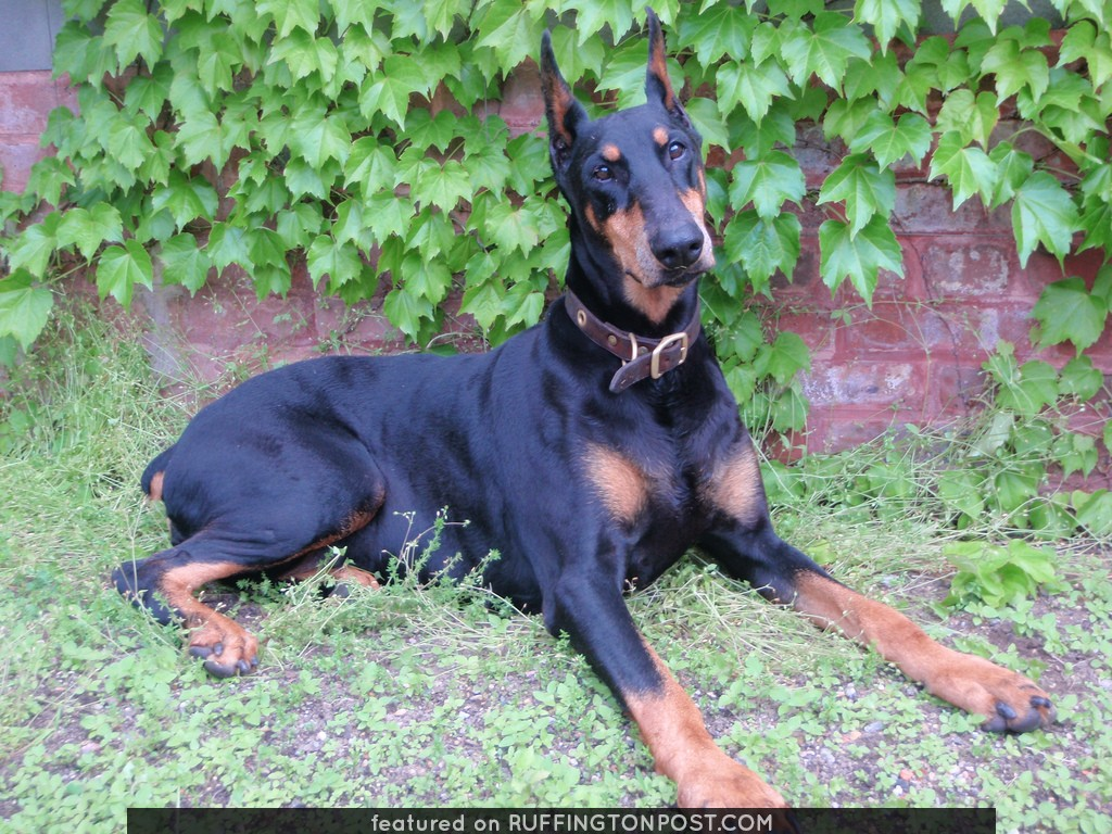 Moka the Doberman