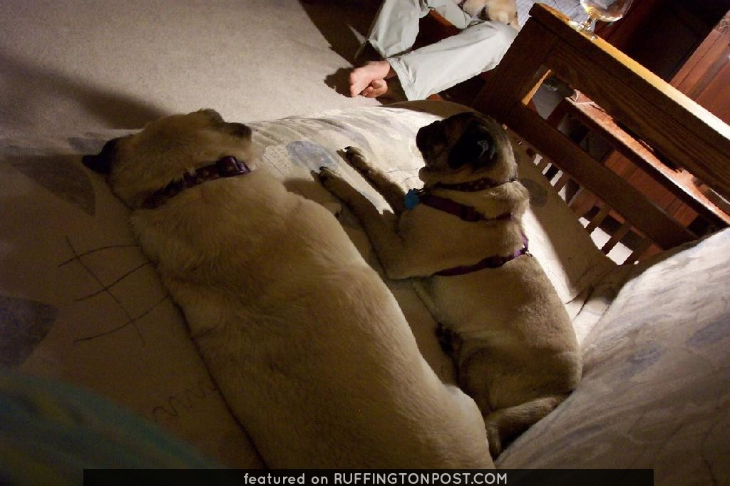 Pugs Napping on the Couch, Watching TV