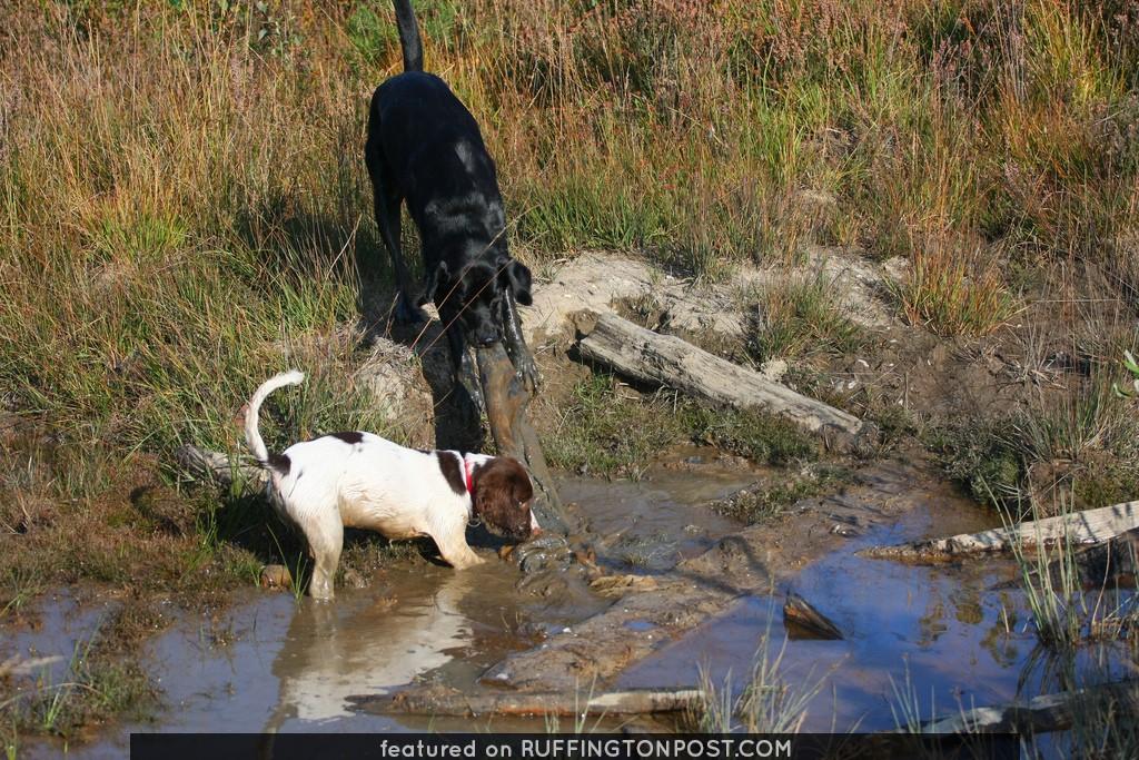 springer spaniels explore river bed