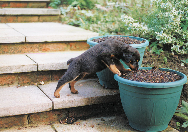 General Rottweiler Grooming Tips