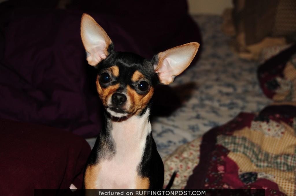 Alert Chihuahua