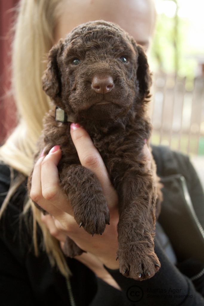 Curly Coated Retriever Puppy #13