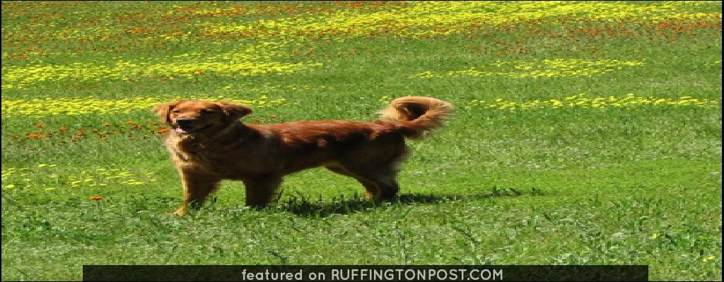 Golden Retriever in Field of Golden Flowers