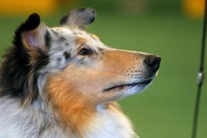 Quality Dog Show Grooming Secrets