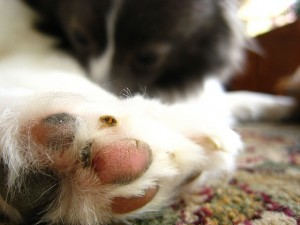 Top 10 Tips For Paw Care for Dogs
