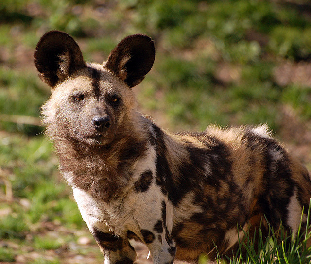 Are You Familiar with the African Wild Dog