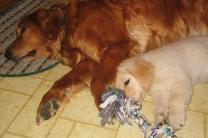 How to Create Less Shedding by Properly Clipping Your Golden Retriever