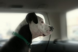 Family Will Not  Abandon Pit Bull and Choose Homelessness Instead