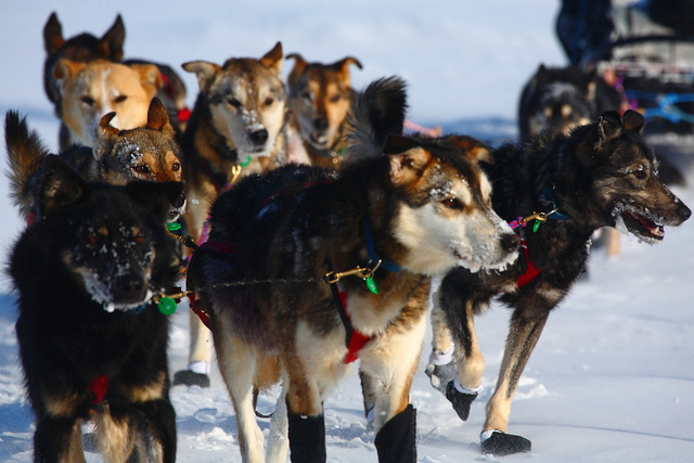 Sled Dog Race Iditarod Won by Dallas Seavey