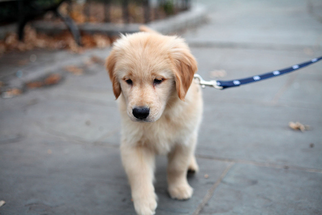Leash, Collar and Stair Climbing Puppy Training