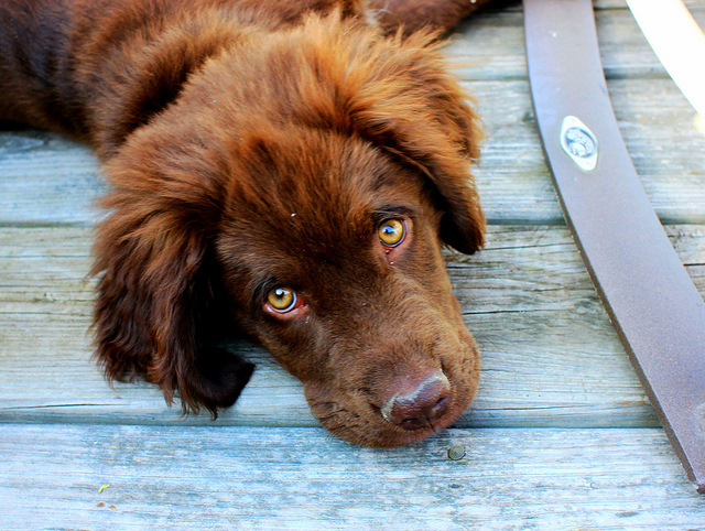 Prostate Cancer Can Be Detected Through Urine by Trained Dogs