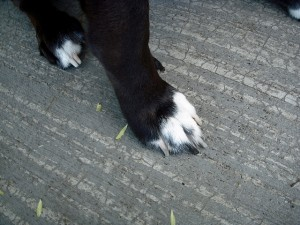 What to Do for Swollen Paws