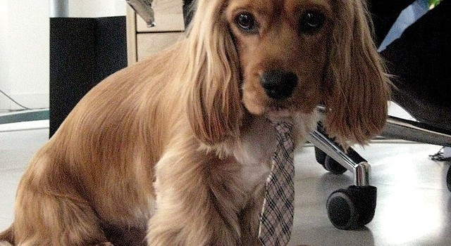 Office Dogs - The 8 Best Breeds to Take With