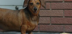Help 77-Pound Dachshund Obie Spread the Word About Pet Obesity Prevention
