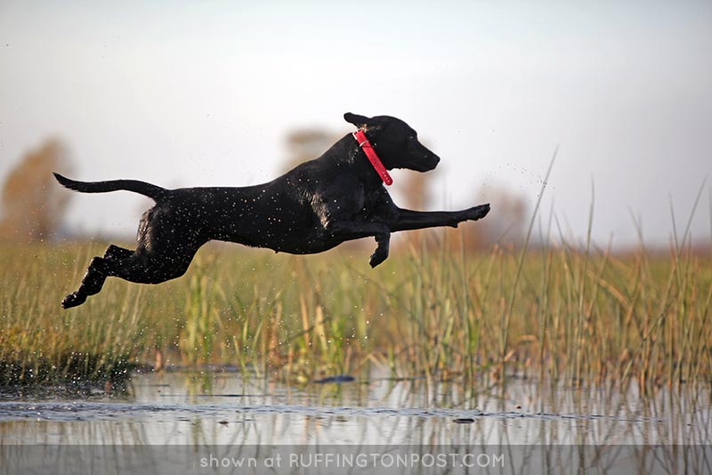 Airborne-Black-Lab-dglassme---Flickr