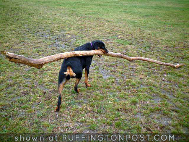 Rottweiler with a big stick