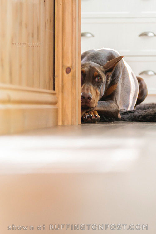Doberman---Catherin-Arsenault-tumblr