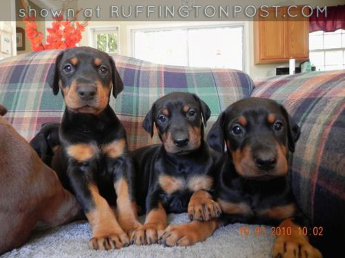 Doberman Puppies