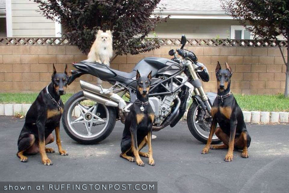 Doberman security system