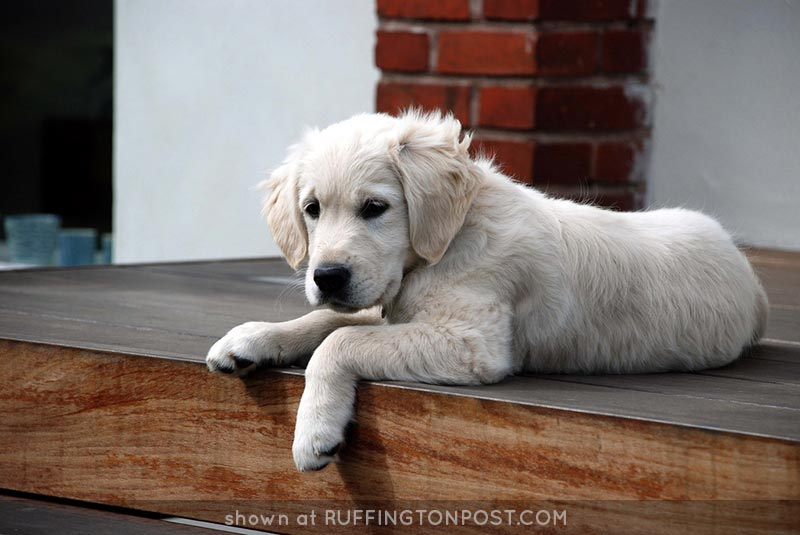 Golden-Retriever-Puppy-tjuel---Flickr