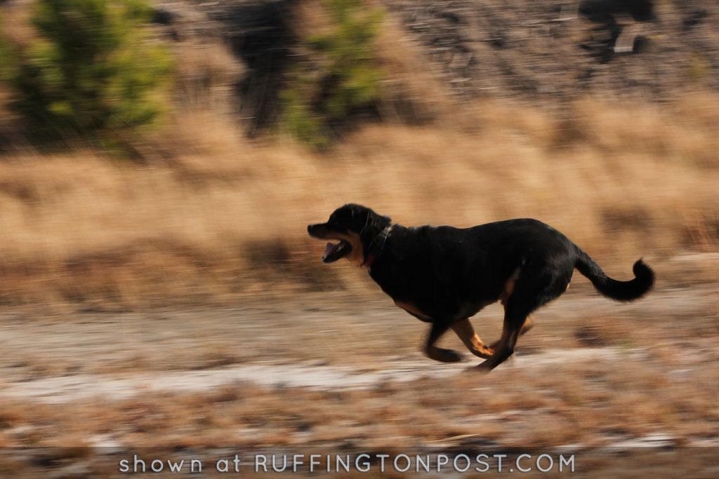 Running Rottweiler