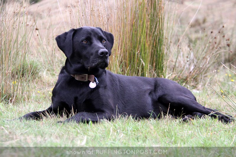 Milly-Black-Lab-Bill-Harrison---Flickr