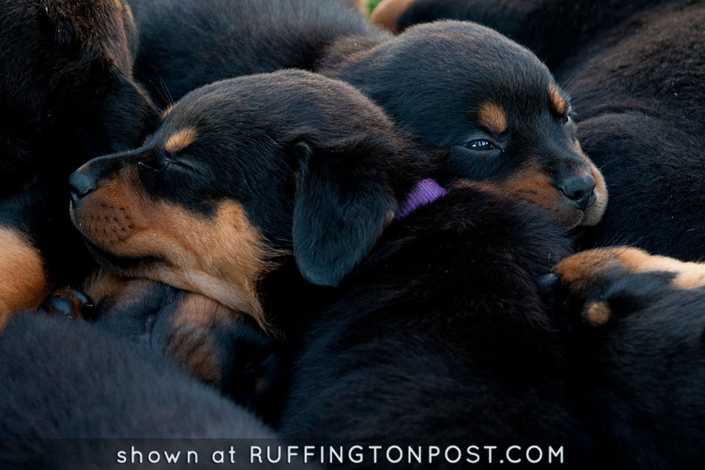 Rottweiler Pups