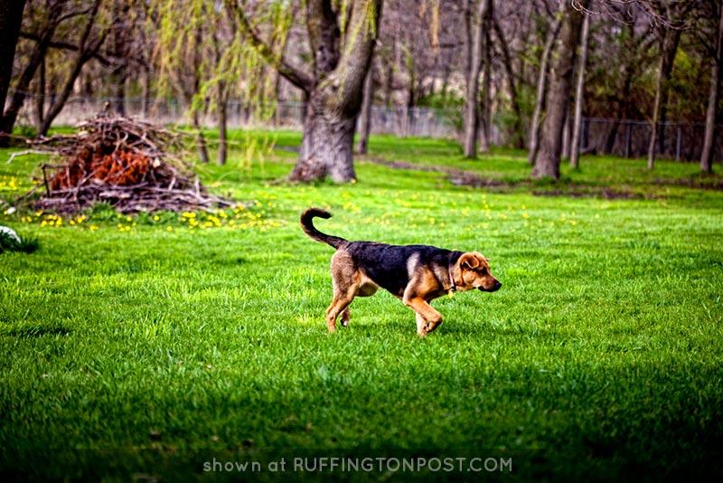 Shepherd-Diva-CJ-Schmit-on-Flickr
