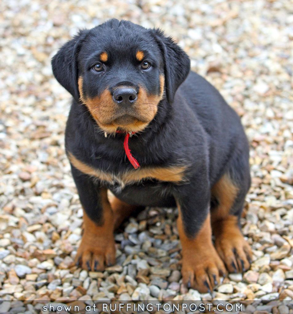 Rottie Pup