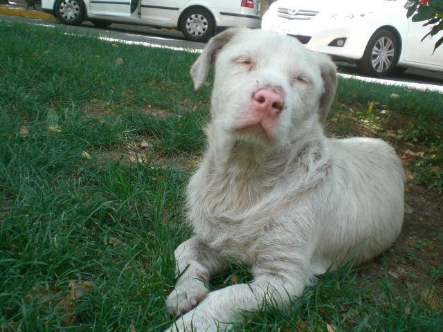 Albino Rottweiler